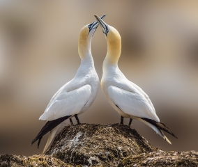 1-patrick-lyons-dance-of-the-gannets_patrick-lyons