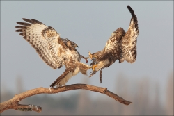 Buzzards Fighting, Michael Linehan, Celbridge Camera Club
