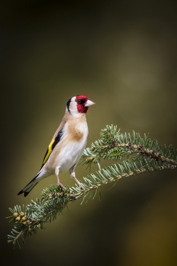 Goldfinch, Freddie McArdle, Dundalk Photographic Society
