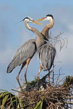 Great Blue Herons, Mick Feeney, Drogheda Pphotographic Club