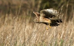 Hen Harrier, Neill O'Reilly, Tallaght Photographic Society