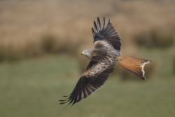 Red Kite, Noel Marry, Mid Louth Camera Club
