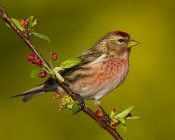 Redpoll, Charlie Lee, Clonakilty Camera Club