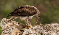Bonneli's Eagle and Rabbit Prey, Padraig Molloy, Wexford Camera Club