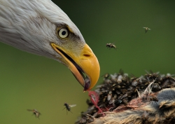 Eagle Feeding, Des Connors, Breffni Camera Club