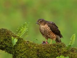 Female Sparrow Hawk Feeding, Charlie Galloway, Waterford Camera Club