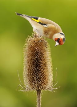 Goldfinch Feeding on Thistle, Michael Murphy, Cork Camera Club