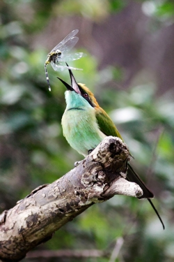 Green Bee-eater and Dragonfly Prey, Kieran Felan, Celbridge Camera Club