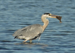 Heron, Mary Twomey, Malahide Camera Club