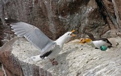 Herring Gull Feeding, David Barrie, Kilkenny Photographic Society