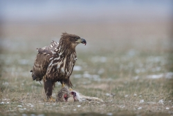 Juvenile Eagle Feeding, Kevin Johnson, Limerick Camera Club