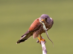 Kestrel Feeding, Charlie Galloway, Waterford Camera Club