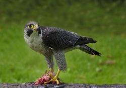 Peregrine Falcon, Patrick Kavanagh, Palmerstown Camera Club