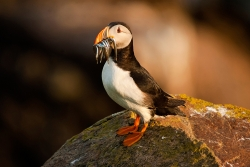 Puffin with Sand Eels, Denis Whelehan, Dundalk Photographic Society