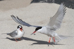 Tern Feeding Chick, Brian McKenna, Creative Photo Imaging Club