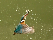 Kingfisher with Catch, Charlie Galloway, Irish Photographic Federation