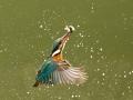 Kingfisher with Catch, Charlie Galloway, Irish Photographic Federation