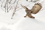 Great Grey Owl and Mouse - Kevin Johnson