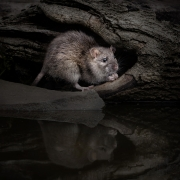 Colour Highly Commended - Hugh Wilkinson - Catchlight Camera Club - Brown Rat