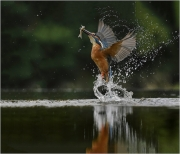 Colour Gold Medal- Ita Martin - Malahide Camera Club - Kingfisher