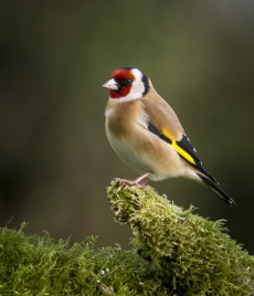 Freddie McArdle - Goldfinch on Moss - Honorary Mention