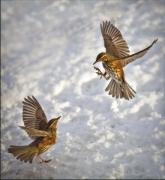 redwings-jpg-no-1