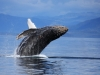 humpback-whale-breaching-animalbehavioursection