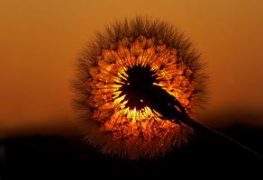 dandelion-seed-head-noel-browne