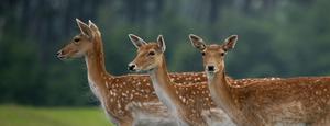 fallow-deer-john-dunne