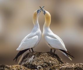 1-patrick-lyons-dance-of-the-gannets_patrick-lyons