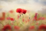 Colour Gold Medal - Anne Huges - Breffni Camera Club - Poppies