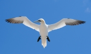 gannet-in-flight