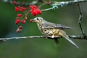 thrush-with-berries