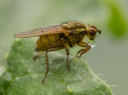 resting-fly