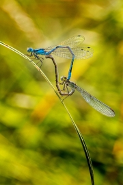 common-blue-damsel