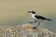 wheatear-with-spider