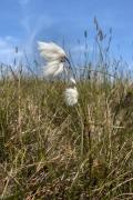 bog-cotton