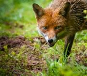 cunning-fox
