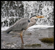heron-with-fish-gold