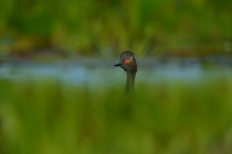 black-necked-grebe