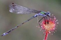 damsel-fly-on-sundew