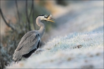 heron-with-pike