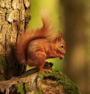 Mario Mac Rory - Secret Squirrel - Waterford Camera Club - Print Open - Intermediate Honourable Mention.jpg