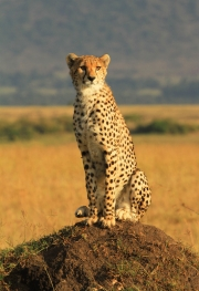 Teresa O Dwyer - Bawa Masai Mara Kenya - Thurles Camera Club - Print Open - Intermediate Honourable Mention