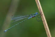 Bill Power - Paracites on a Damselfly - Mallow Camera Club - Projected Natural World - Advanced Silver.jpg