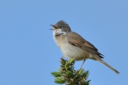 Derek J Lynch - Whitethroat Singing - Drogheda Photographic Club - Projected Natural World - Advanced Gold.jpg