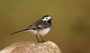 Gilbert Smyth - Pied Wagtail - Carlow Photographic Society - Projected Natural World - Intermediate Silver.jpg