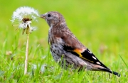 Seamus Rowan - Juvenile Goldfinch having lunch - Portlaoise Camera Club - Projected Natural World - Intermediate Gold.jpg
