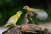 Suzanne Merrigan - Green Finch VS Juvenile Robin - Fermoy Camera Club - Projected Natural World - Intermediate Bronze.jpg