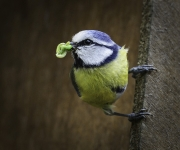 Suzanne Merrigan - Grubs Up Blue Tit - Fermoy Camera Club - Projected Natural World - Intermediate Honourable Mention.jpg